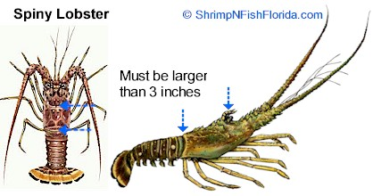 Spiny Lobster Measurements