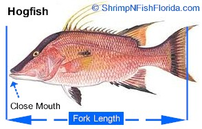 Hot To Measure Fish To The Fork