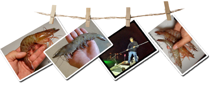 How to Catch Shrimp In Florida